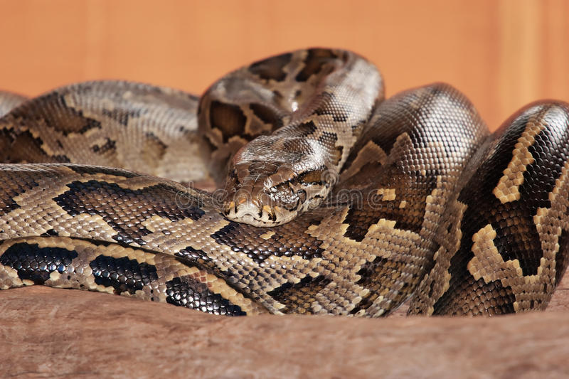 Download Wąż obraz stock. Obraz złożonej z znak, węże, ząb, przyroda - 13327645