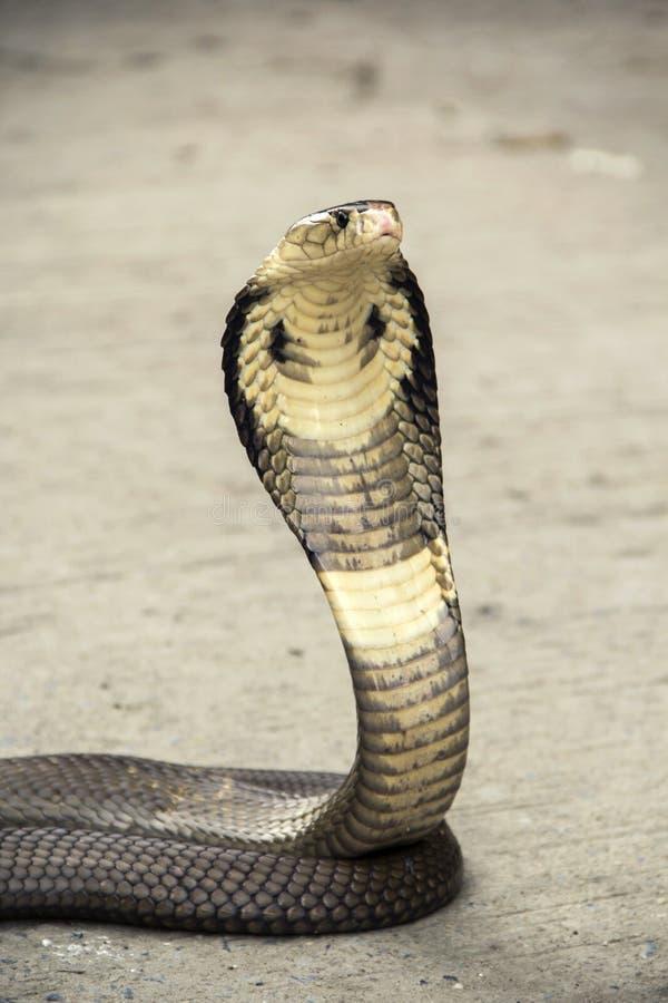 Wąż kobra obrazy stock