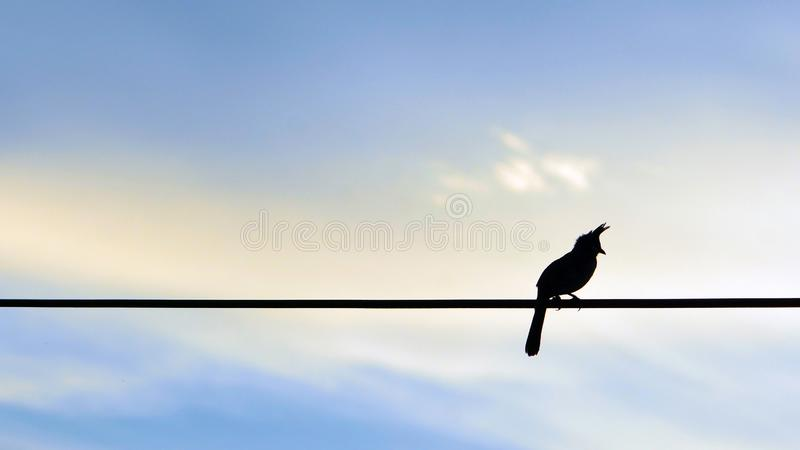 Wąsatego bulbul ptasia sylwetka na kolorowym niebie obrazy stock
