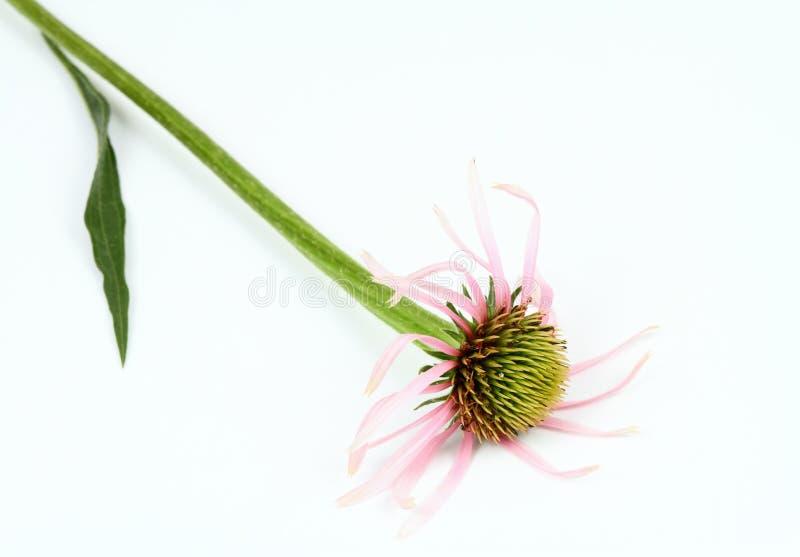 Wąski liścia rożka kwiat, Echinacea angustifolia na białym tle, zdjęcie stock