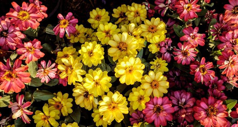 Wąskie liść cynie lub Klasyczne cynie w mój ogródzie zdjęcia stock