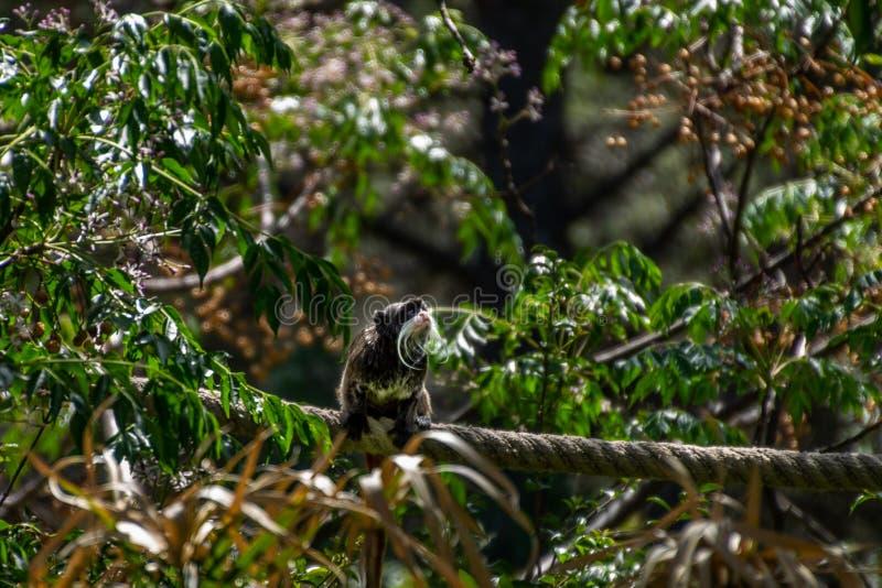 Wąsy małpa obrazy stock