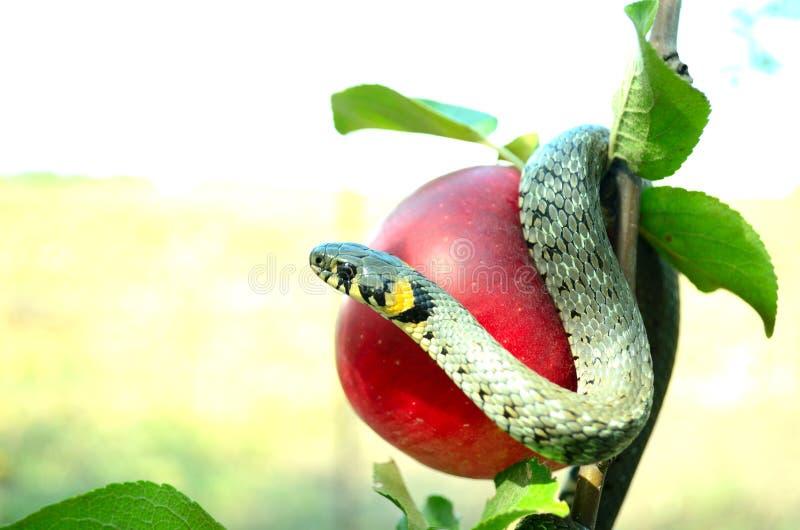 węża kusiciel fotografia stock
