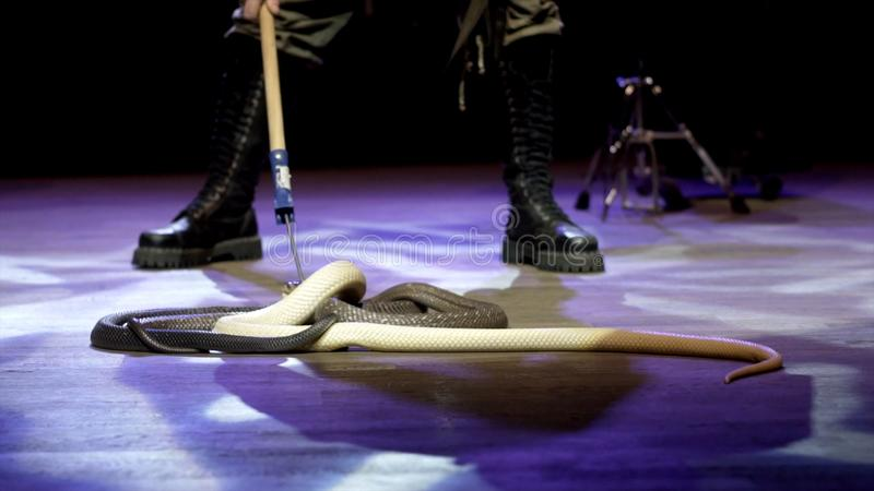 Węża podrywacz w cyrku akcja W górę węża podrywacza kontroluje kobry w cyrkowej arenie podczas występu niebezpieczny zdjęcia stock