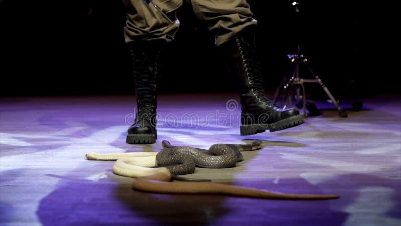 Węża podrywacz w cyrku akcja W górę węża podrywacza kontroluje kobry w cyrkowej arenie podczas występu niebezpieczny obrazy stock