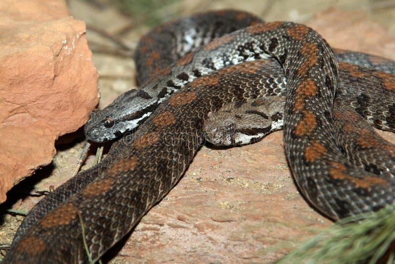 węże zdjęcie royalty free