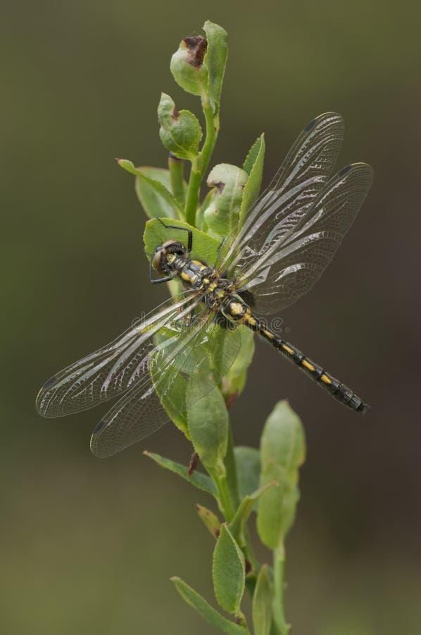 wężowy dragonfly stawiał czoło biel fotografia royalty free