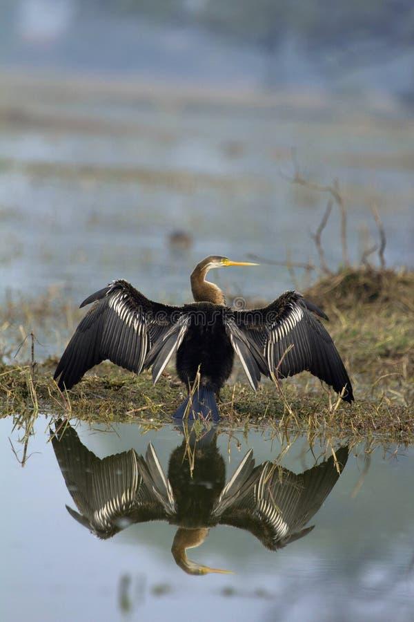 Wężowy, węża ptak, Anhingidae, słońca skąpanie, Keoladeo Ghana park narodowy, Bharatpur, Rajasthan, India obraz stock