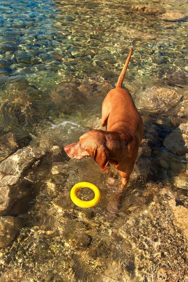 Węgierski pointer Vizsla pływa w morzu Pies sztuki w wodzie Psi szkolenie Letni dzień z psem morzem fotografia stock