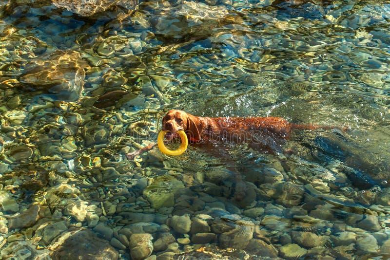 Węgierski pointer Vizsla pływa w morzu Pies sztuki w wodzie Psi szkolenie Letni dzień z psem morzem zdjęcie royalty free