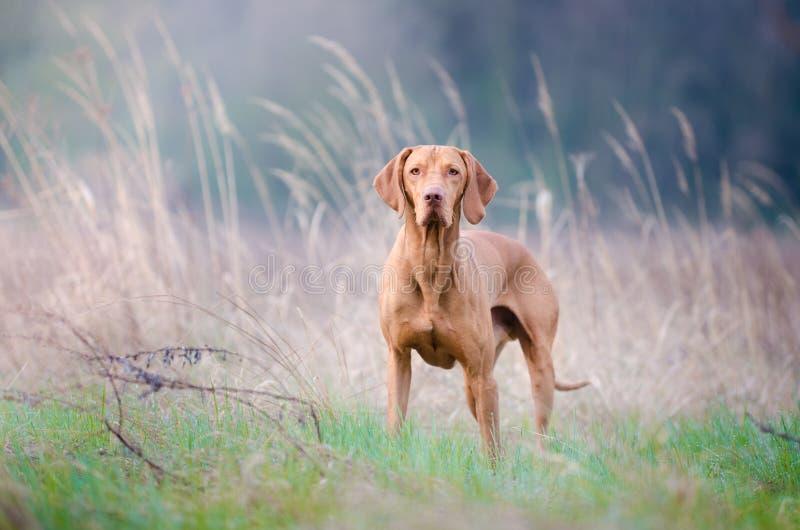 Węgierski pointeru vizsla pies w polu fotografia stock