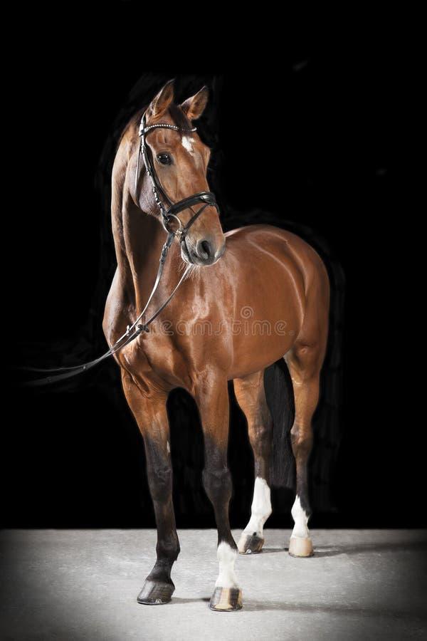 Węgierski siodłowy koń obraz royalty free