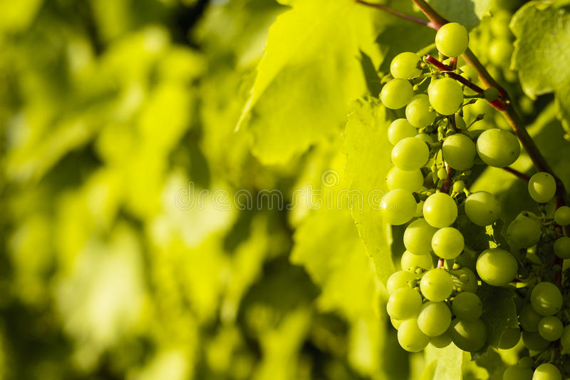 Węgra Tokaju winogron wina winorośli sławna plantacja blisko Sar obraz stock