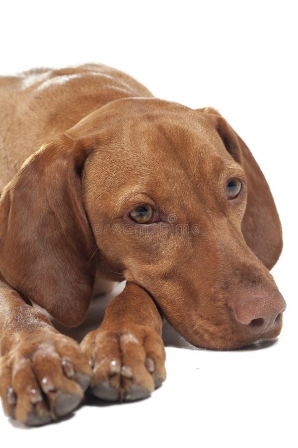 Vizsla psi portret zdjęcia royalty free