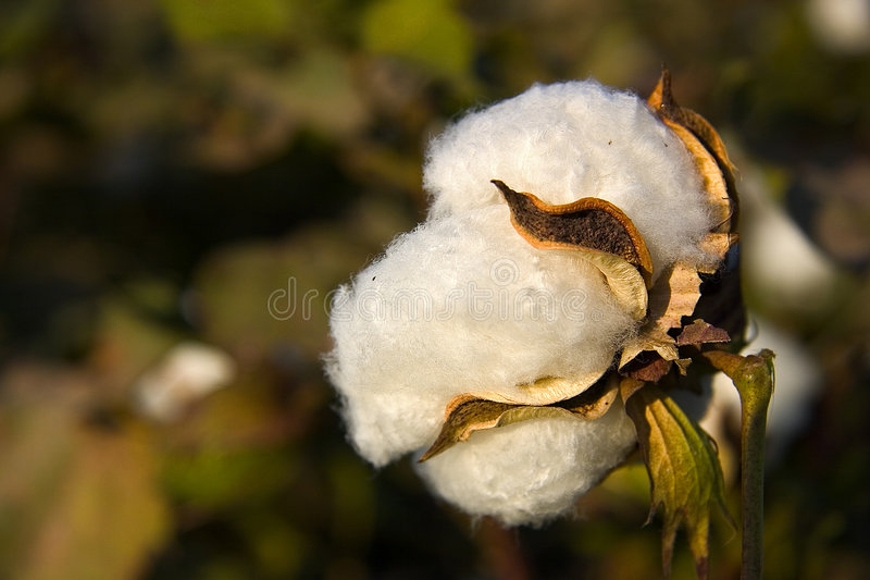 włókna bawełny obraz stock