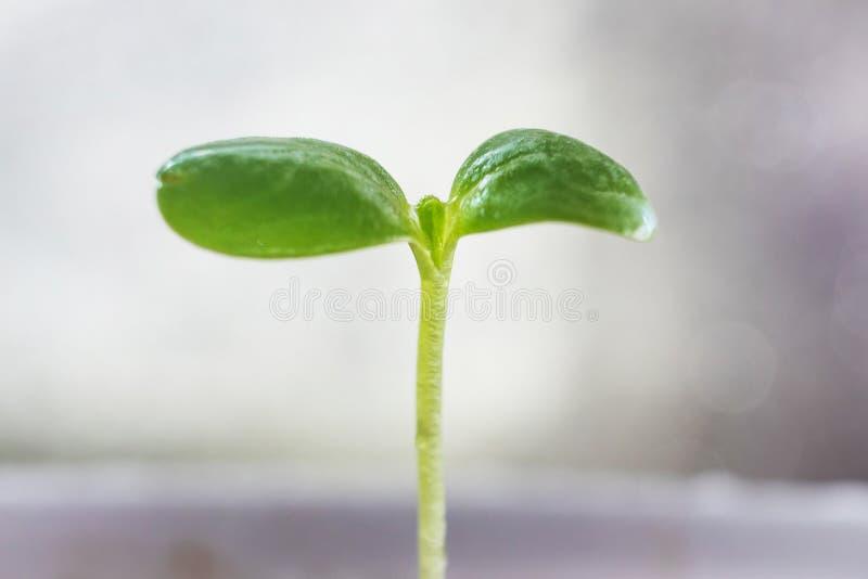 Właśnie skakać w górę rośliny flancy w ziemi obraz stock