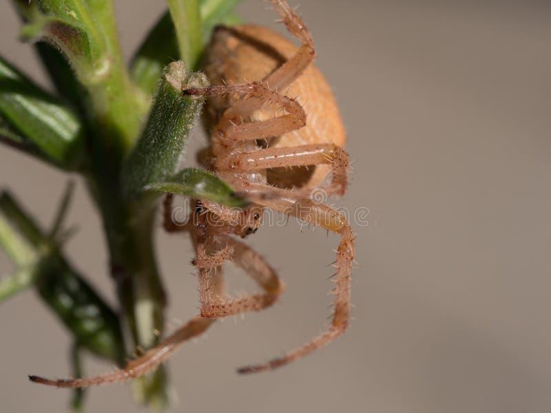 włochaty pająk zdjęcia stock