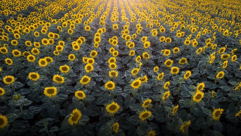 Włochy Czerwiec 2017 - widok z lotu ptaka pole słoneczniki przy zmierzchem obraz royalty free