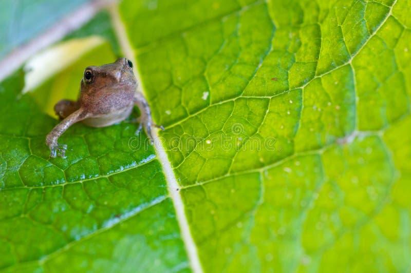Włochy, mały pospolita żaba na liściu fotografia royalty free