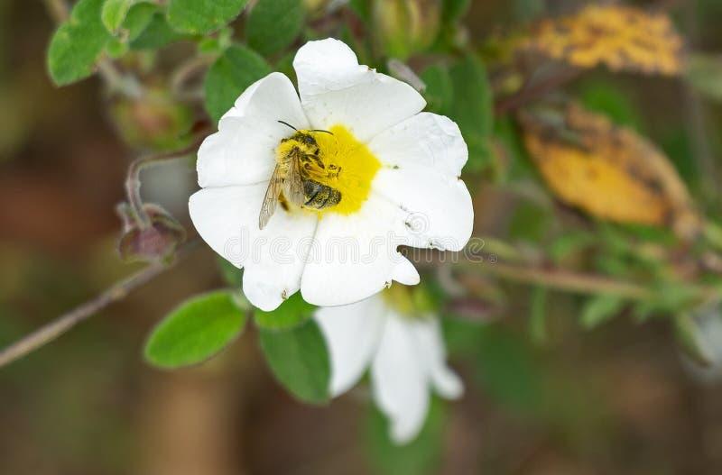 Włochy Tuscany maremma, Śródziemnomorski las, romneya dzicy kwiaty z zapylać pszczoły obrazy stock