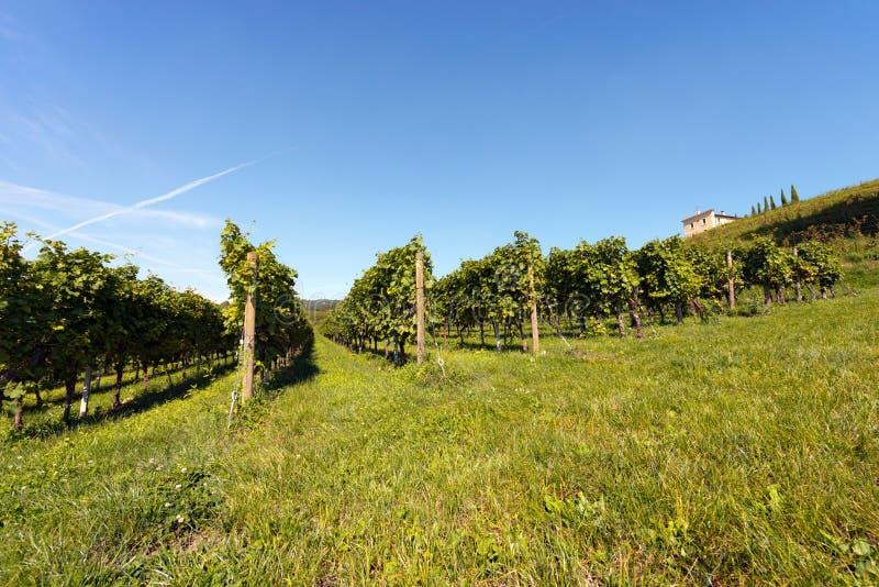 Włoscy winnicy - Valpolicella wino obrazy stock