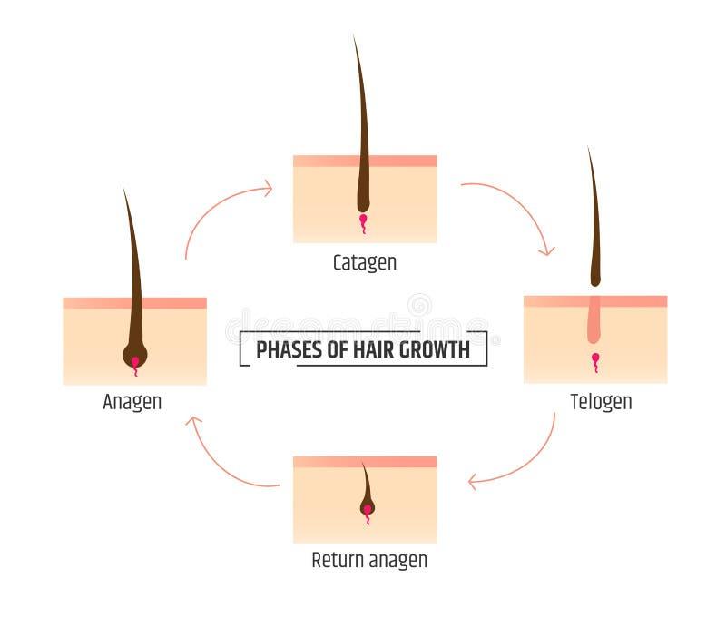 Włosiane wzrostowe fazy Infographics dermatologia i trichology Laserowy Włosiany usunięcie ilustracja wektor
