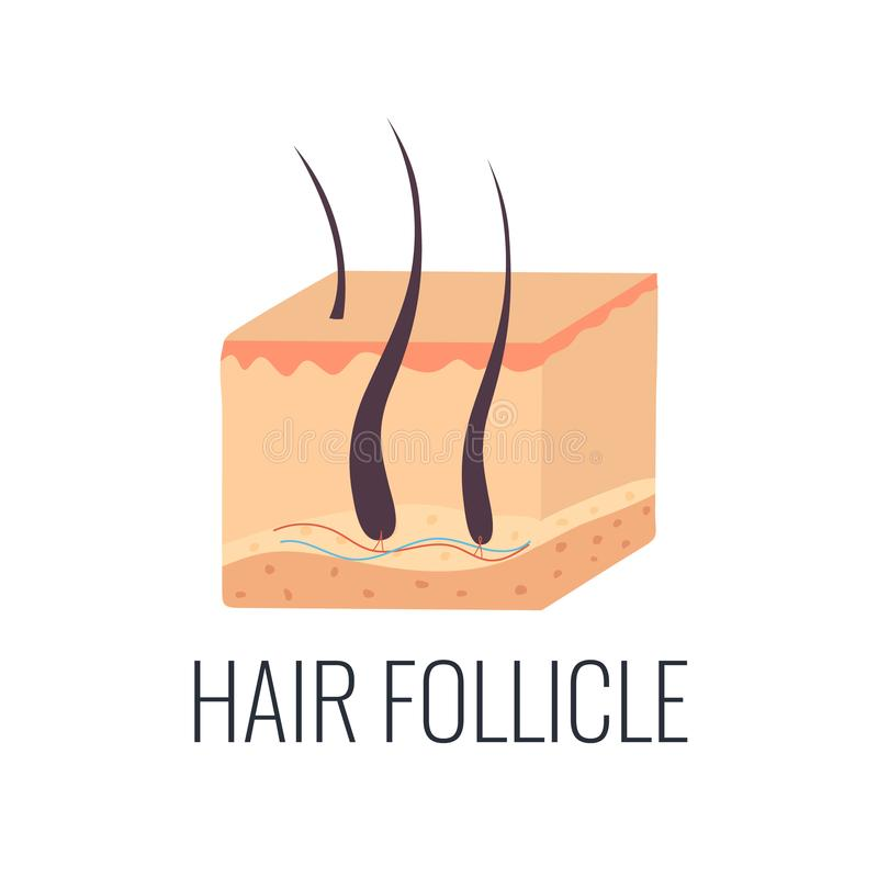 Włosianego follicle ilustracja Skóry struktura ilustracja wektor