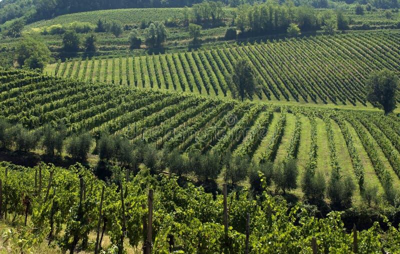 włoski 2 winnic fotografia royalty free