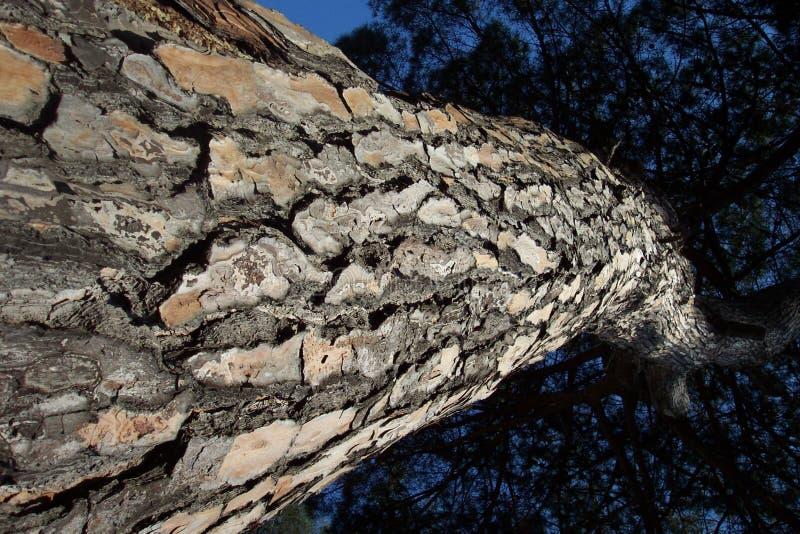 włoski bardzo wysokie drzewa fotografia royalty free
