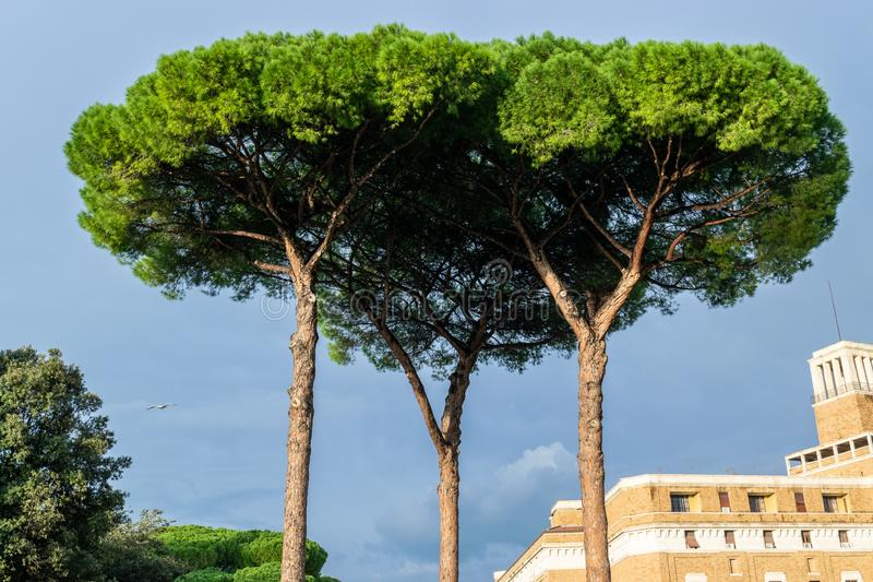 Włoski Kamiennych sosen Pinus Pinea także znać jako Parasolowe sosny i Parasol sosny zdjęcie stock