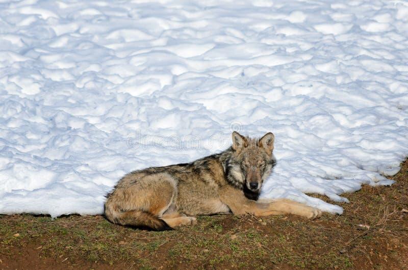 Włoski wilczy canis lupus italicus obrazy royalty free