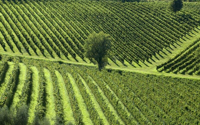 włoskie 5 winnic fotografia stock