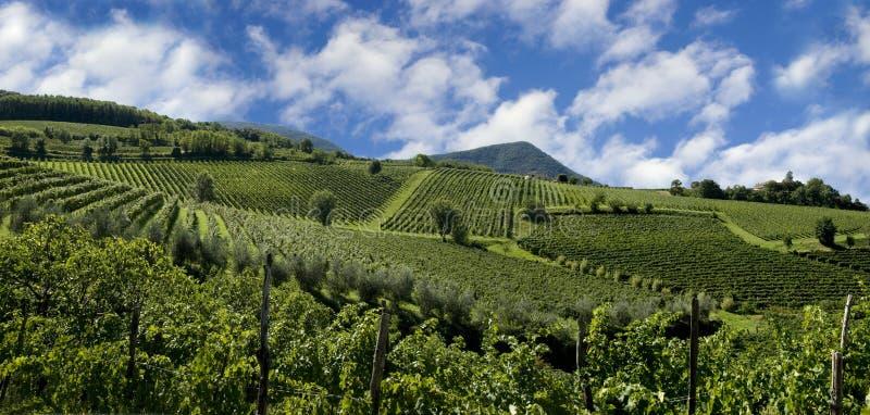 włoskie winnice zdjęcie stock