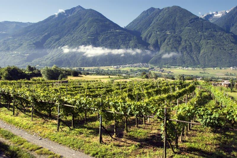 włoskie winnice obraz royalty free