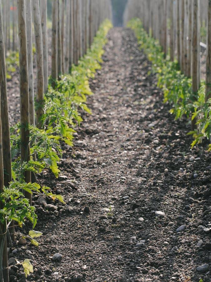 Włoskiej pietruszki ogrodnictwo obraz stock