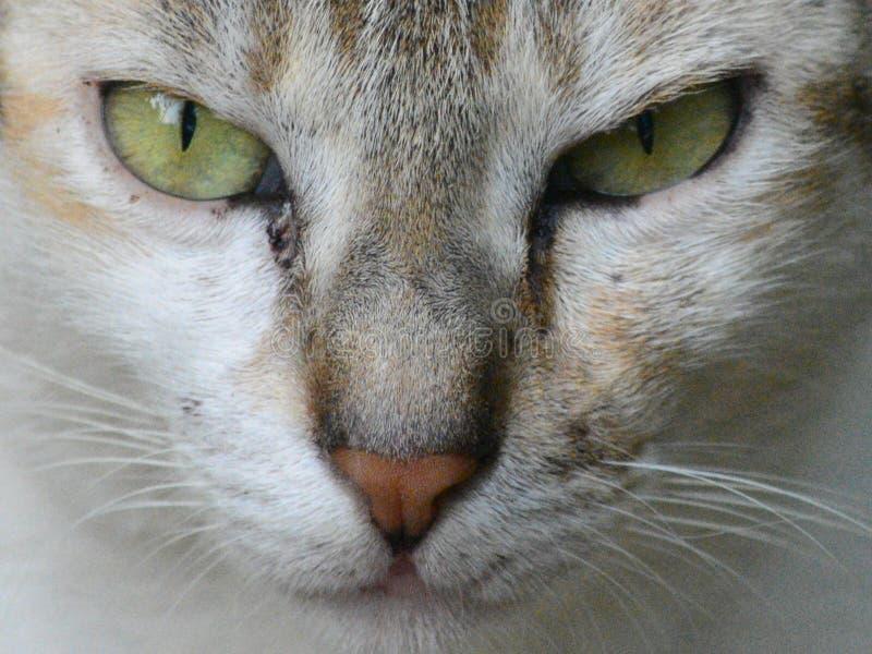 Wściekła kot twarz fotografia stock