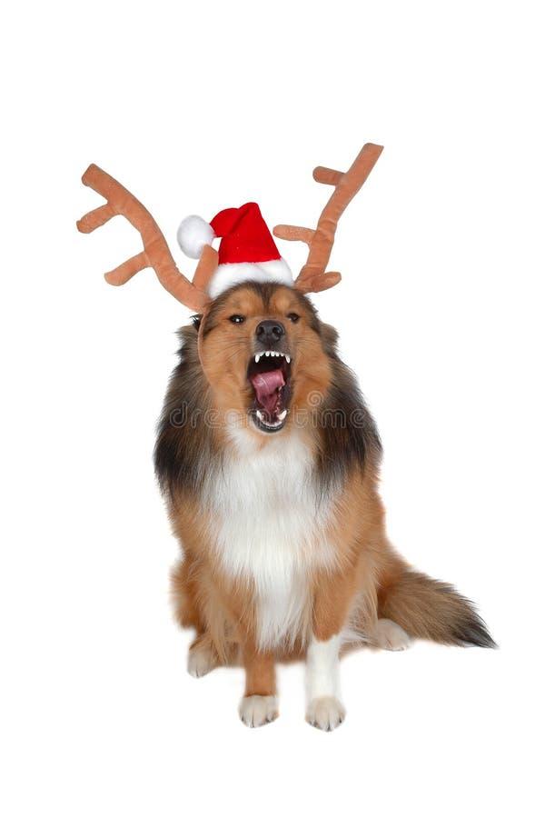 wściekły pies jelenia świąteczne zdjęcie stock