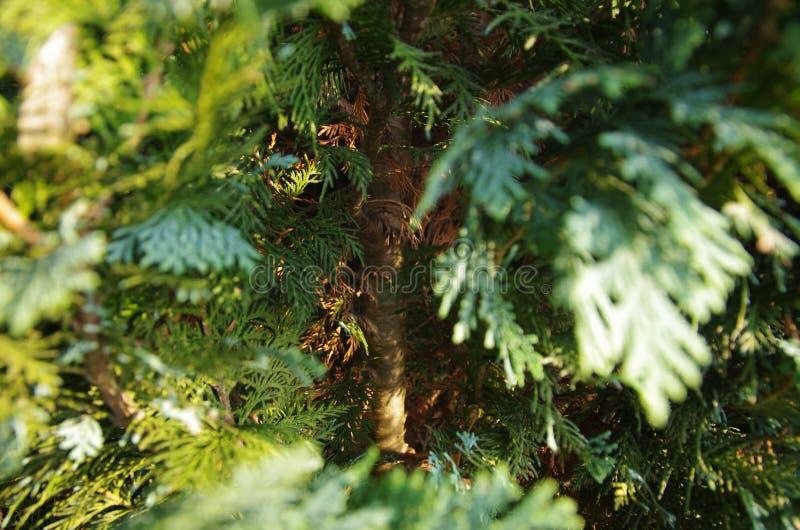 Wśrodku conifer zdjęcia royalty free