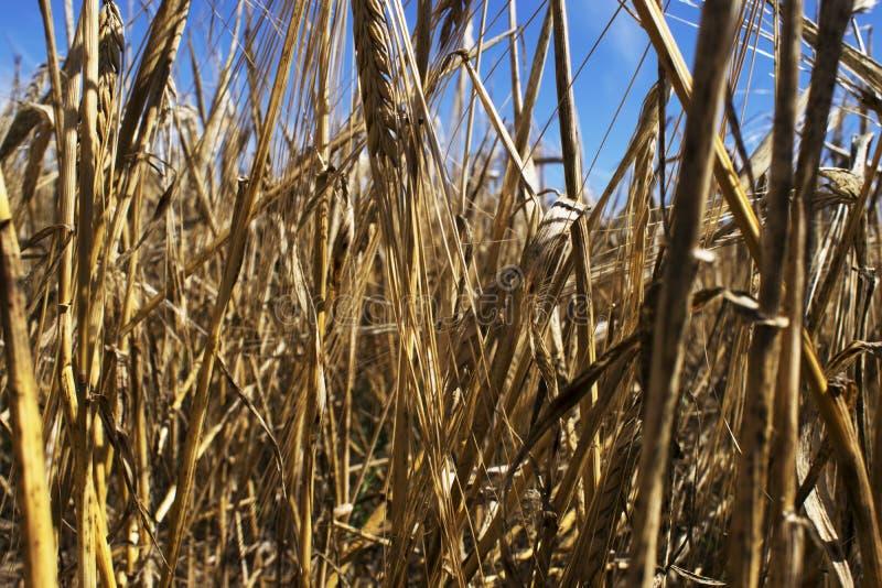 Wśrodku pszenicznego pola obrazy royalty free