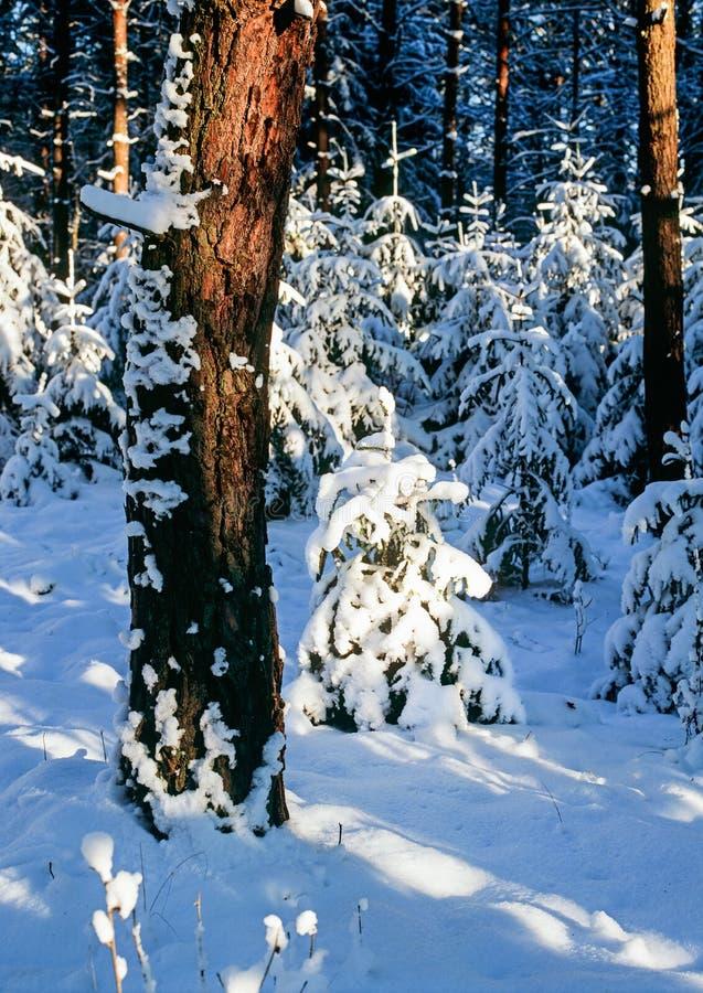 W śnieżnych drewnach fotografia royalty free