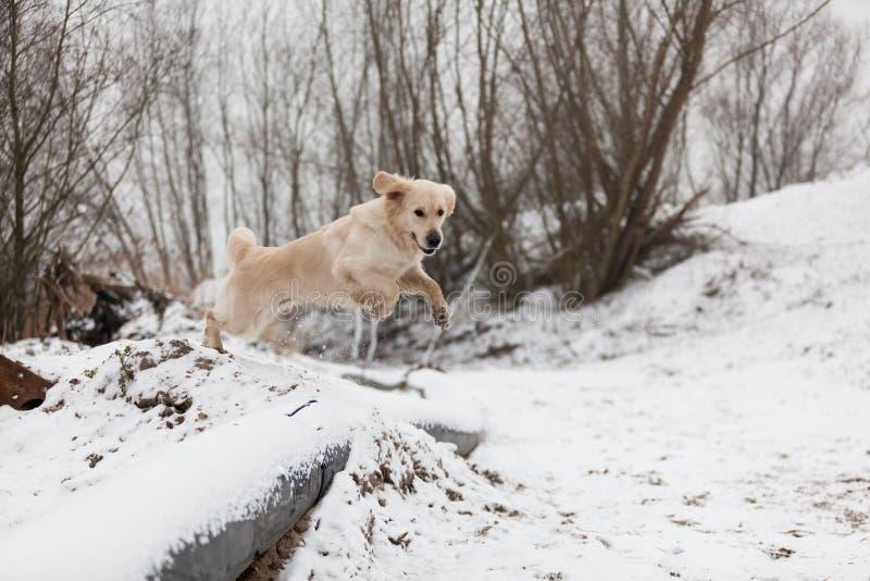 W śniegu Aporteru złoty doskakiwanie zdjęcie royalty free