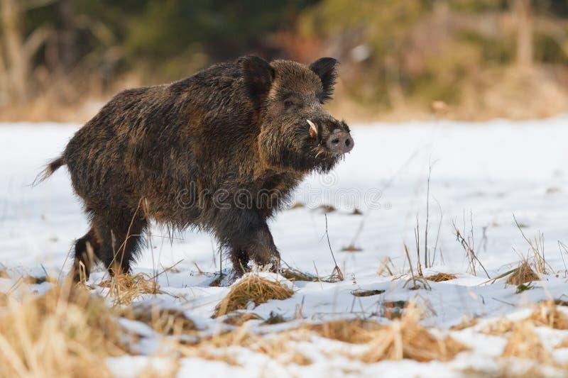 W śniegu męski dziki knur obrazy stock