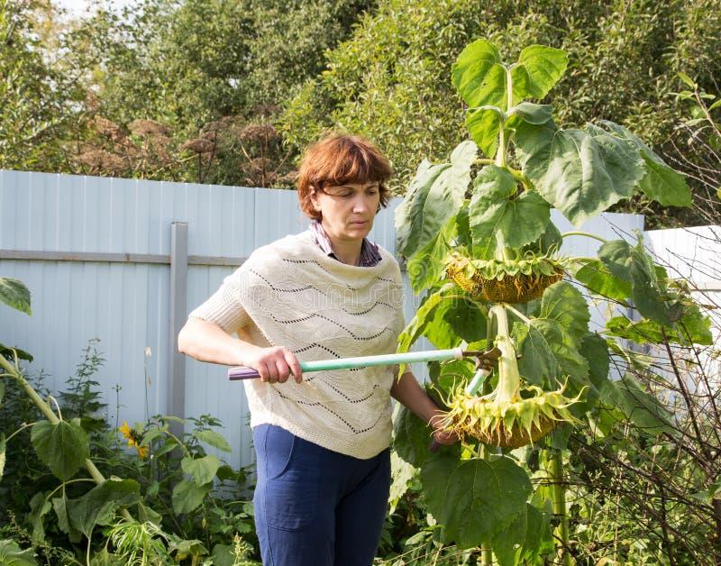 W średnim wieku kobiet strzyżenia słonecznikowi zdjęcie stock