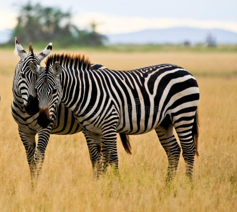 W Amboseli dwa zebry zdjęcia royalty free
