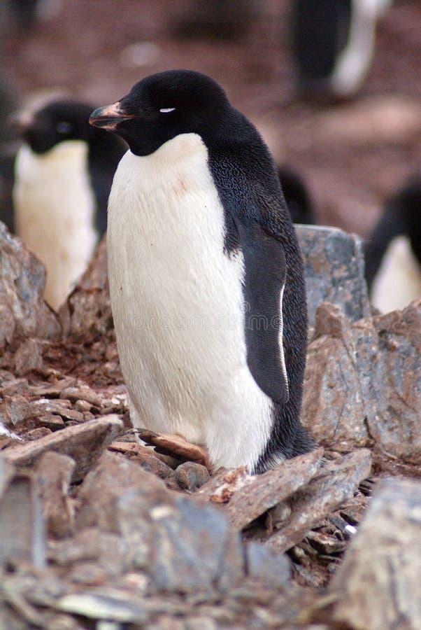 W Antarctica Adelie pingwin zdjęcie royalty free