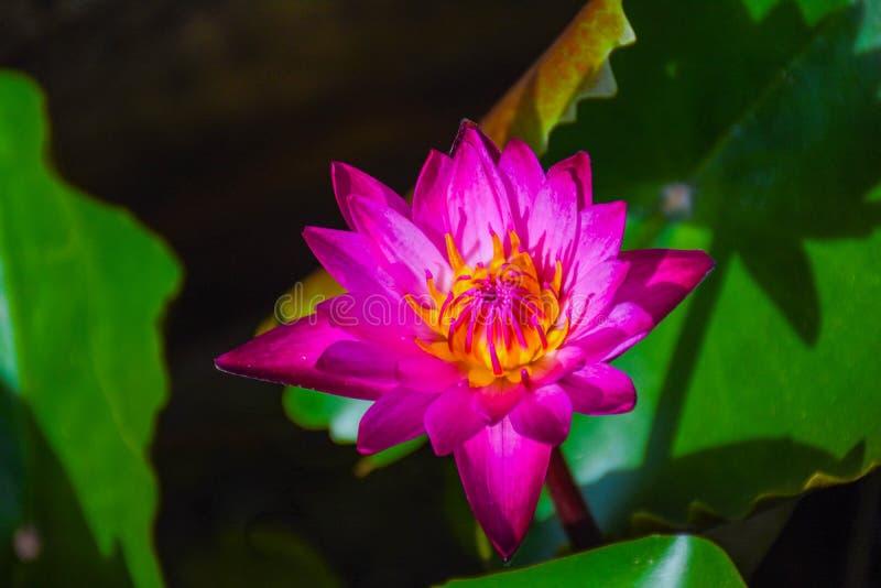 W basenie purpurowy lotos zdjęcia royalty free