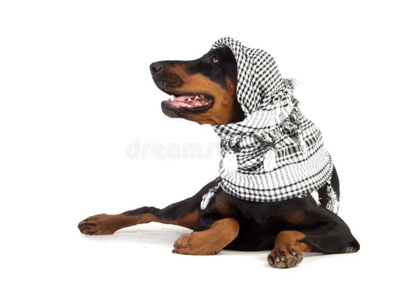 W czarny kufiya Dobermann pies zdjęcie royalty free