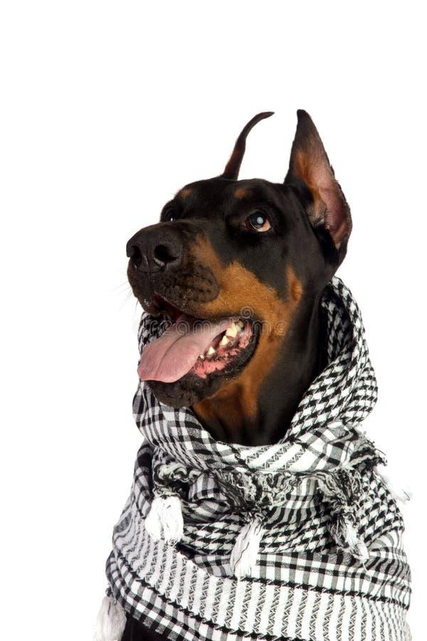 W czarny kufiya Dobermann pies obrazy royalty free