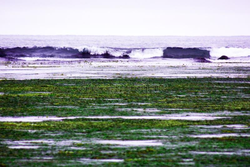 w czasie odpływu morza w zatoce, na dennego brzeg dennym kale i algach rzuca daleko od, macha zdjęcie royalty free