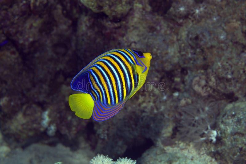 W Czerwonym morzu królewski angelfish. zdjęcie royalty free